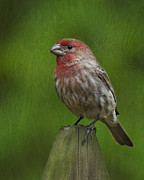 House Finch Prints - Waiting By The Meadow Print by Steven Richardson
