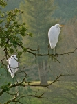 Liz Prints - Waiting Egrets Print by Liz Vernand