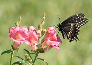 Black Swallowtail Prints - Waiting for Butterflies Print by Carol Groenen