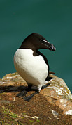 Razorbill Framed Prints - Waiting for Love II Framed Print by Jacqui Collett