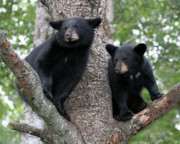 Black Bear Cubs Prints - Waiting For Mom Print by Gerry Sibell