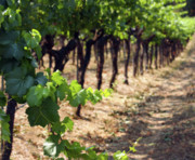 Vineyard Photo Prints - Waiting For Oak Print by Rebecca Cozart