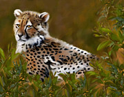 Cheetah Digital Art - Waiting For Sunset by Frances Guzzetta