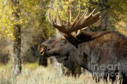 Bull Moose Photos - Waiting For The Challengers by Sandra Bronstein