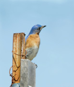 Bluebird Metal Prints - Waiting for the Missus Metal Print by Betty LaRue