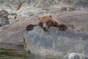 Bears Island Photos - Waiting for the Salmon by Tim Grams