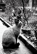 Siamese Photo Prints - Waiting Print by Laura Melis