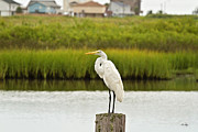 Great White Egret Prints - Waiting on Dinner Time Print by Scott Pellegrin