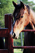 Bay Horse Metal Prints - Waiting Metal Print by Stephanie Frey