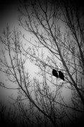 Ravens Photo Prints - Waiting Together Print by Marjorie Imbeau