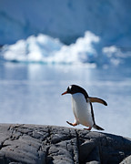 Antarctica Prints - Walk in the park Print by Jane Sheng