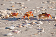 Fiddler Crab Framed Prints - Walk This Way Framed Print by Christine Stonebridge