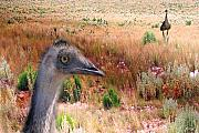 Emu Prints - Walkabout Print by Holly Kempe