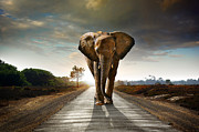Asphalt Prints - Walking Elephant Print by Carlos Caetano
