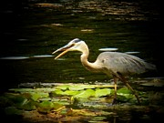 Heron Photos - Walking Heron by Joyce  Kimble Smith