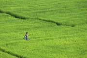 Close To People Framed Prints - Walking In Green Rice Fields Near Mae Hong Son Framed Print by Austin Bush