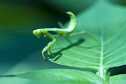 Mantid Prints - Walking Mantis Print by Zoe Ferrie