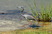Tri Colored Heron Posters - Walking On The Edge Poster by Deborah Benoit