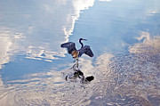 Tri Colored Heron Posters - Walking On Water Poster by Carolyn Marshall