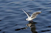 Flying Gull Posters - Walking on water Poster by Michal Boubin