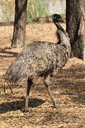 Emu Originals - Walking Tall by Padmanabhan Ramchander