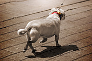 Dog Walking Photo Prints - Walking the Dog Print by Steven  Michael