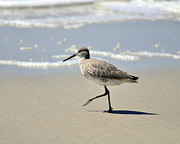 Birding Photos - Walking Willet by Al Powell Photography USA