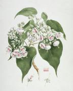 Pre-19th Photo Prints - Walkuffa No.5 Dombeya torrida  Print by James Bruce