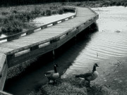 Virginia Greeting Cards Posters - Walkway and Geese Poster by Steven Ainsworth