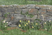 Margie Perry - Wall with Daffodils