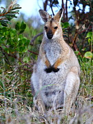 Wallaby Photos - Wallaby by Andrew McInnes
