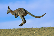 Ai Prints - Wallaroo Macropus Robustus Hopping Print by Jean-Paul Ferrero