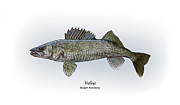 Game Fish Drawings Framed Prints - Walleye Framed Print by Ralph Martens