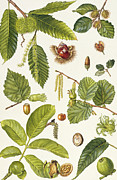Acorn Prints - Walnut and other nut-bearing trees Print by Elizabeth Rice