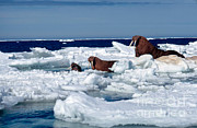 Arctic Ice Framed Prints - Walruses Framed Print by Joseph Rychetnik