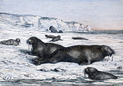 Tusk Prints - Walruses On Ice Field Print by Granger