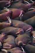 Bonding Metal Prints - Walruses On The Beach Metal Print by Joel Sartore
