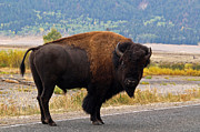 Bison Art - Wandering Bison by Alex Cassels