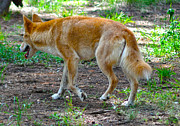 Australia Photographs Photos - Wandering Dingo by Joanne Kocwin