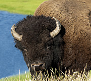 American Bison Photo Originals - Wanna Fight by Paul Cannon