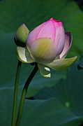 Lotus Bud Prints - Wanna Kiss Print by Byron Varvarigos