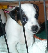 Black And White Jack Russell Terrier Puppies Photos - Wanting Freedom by Linda Parker