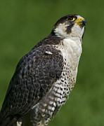 Peregrine Falcon Prints - Wanting to Fly... Print by Nina Stavlund