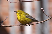 Travis Truelove Photography Posters - Warbler - Pine Warbler - Oh So Yellow Poster by Travis Truelove