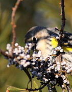 Travis Truelove Photography Prints - Warbler - Peeping Out Print by Travis Truelove