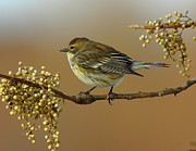 Warbler Photos - Warbler by Robert Frederick