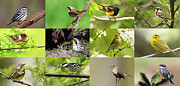 Magnolia Warbler Prints - Warblers in spring Print by Mircea Costina Photography