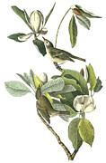 North American Wildlife Posters - Warbling Vireo Poster by John James Audubon