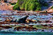 Sea Lions Prints - Warm and Fuzzy  Print by Douglas Barnard