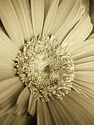Gerber Daisy Art - Warm Cream Daisy by Sally Siko
